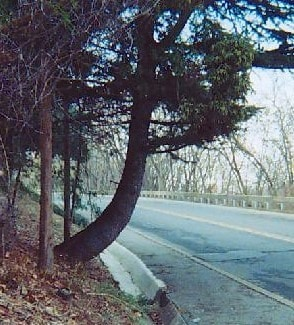 Leaning of Tress due to Hillside Creep