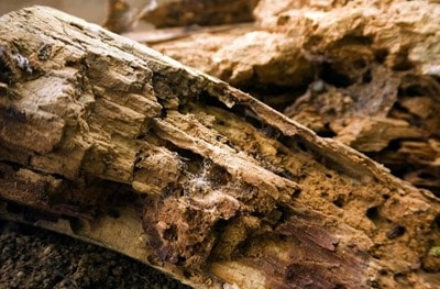 Dry Rot in Timber