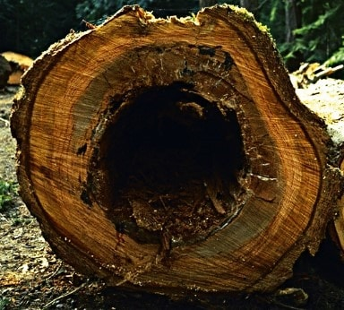 Heart Rot in Timber