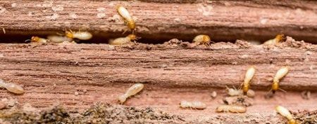Termites in Timber