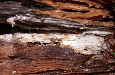 White Rot in Timber