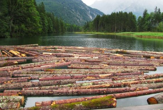 Timber Logs in Water